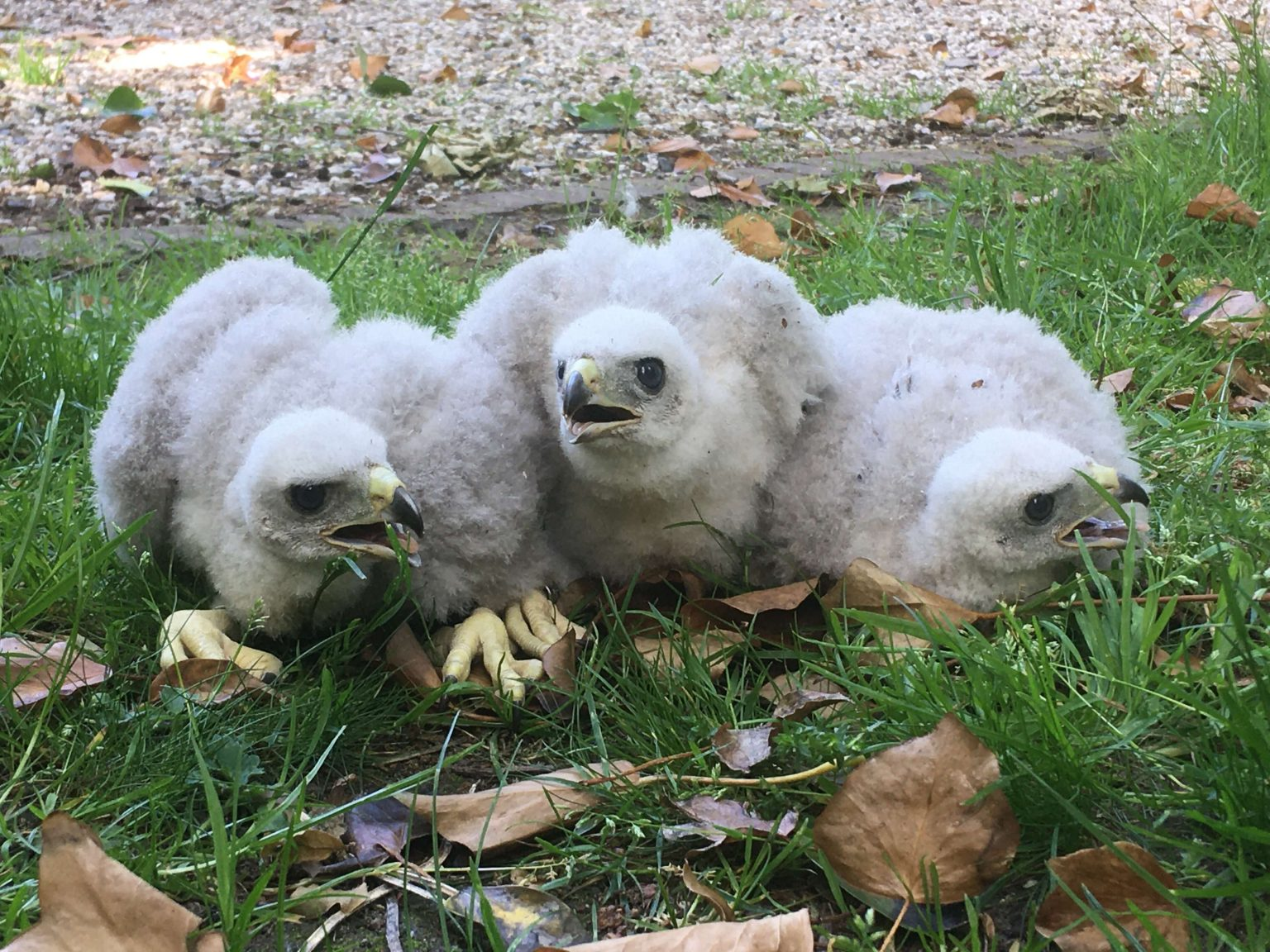 Wester-Amstel's three young hawks