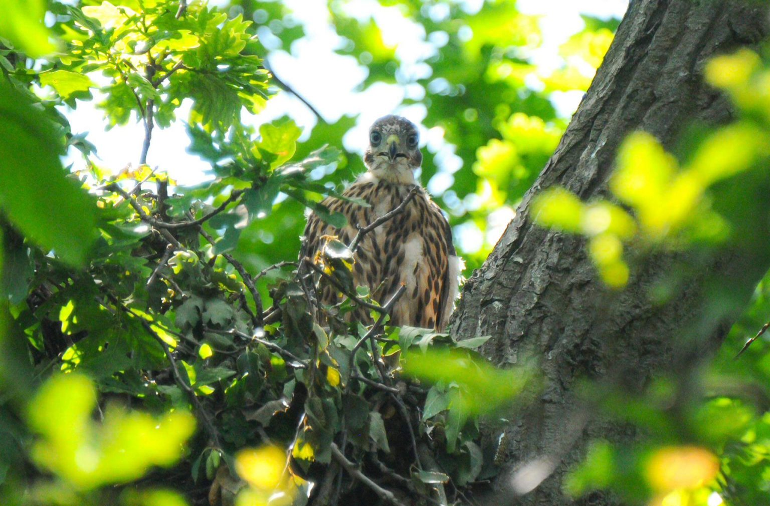 Young hawk peering down from a tree.