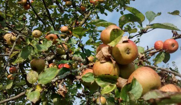 Old Orchard Wester-Amstel Apples
